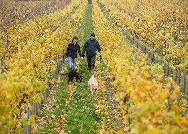 Simpsons Wine Estate Harvest Trip